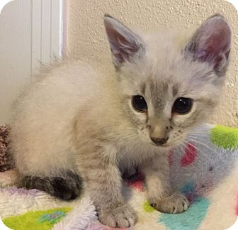 Siamese Kitten for adoption in Meridian, Idaho - Baby