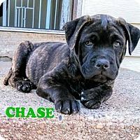 Adopt A Pet :: Chase - Wyoming, MI