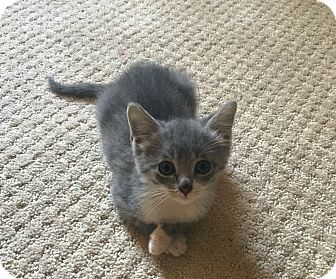 Domestic Shorthair Kitten for adoption in Knoxville, Tennessee - Samantha