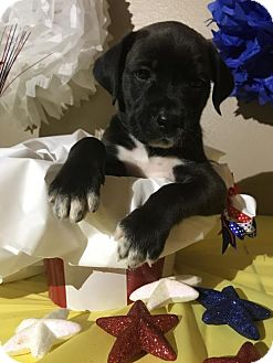 Labrador Retriever Mix Puppy for adoption in New Port Richey, Florida - Flash