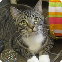 Adopt A Pet :: Lynx - Ridgway, CO