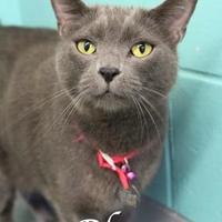 Adopt A Pet :: Blue - Bradenton, FL