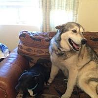 Adopt A Pet :: KASHA - Chandler, AZ