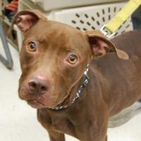 Adopt A Pet :: Hazelnut - Brooklyn, NY
