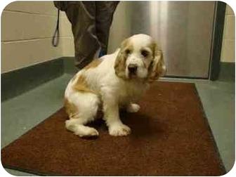 Cocker Spaniel Dog for adoption in Overland Park, Kansas - Sam