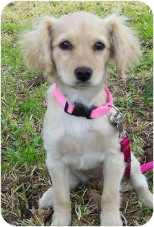 Cocker Spaniel Mix Puppy for adoption in Sugarland, Texas - Grace
