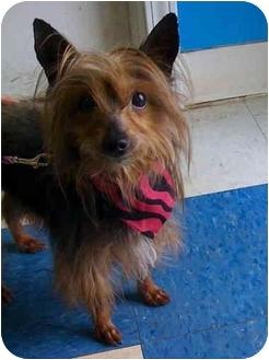 Silky Terrier/Yorkie, Yorkshire Terrier Mix Dog for adoption in Palatine, Illinois - HARRIET