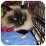 Photo 1 - Ragdoll Cat for adoption in Riverside, Rhode Island - Blossom