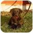 Photo 1 - Golden Retriever/English Springer Spaniel Mix Puppy for adoption in Austin, Minnesota - Ruben