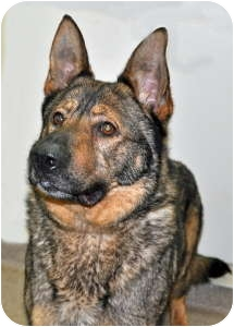German Shepherd Dog Dog for adoption in Port Washington, New York - Winchester