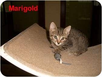 Domestic Shorthair Kitten for adoption in Slidell, Louisiana - Marigold