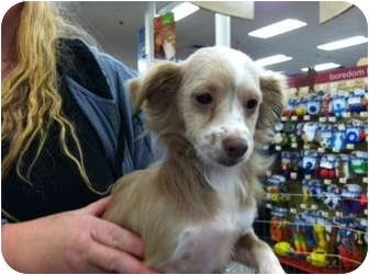 Chihuahua/Dachshund Mix Puppy for adoption in Tumwater, Washington - Shasta