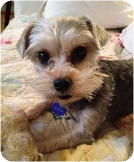 Yorkie, Yorkshire Terrier/Maltese Mix Dog for adoption in West Palm Beach, Florida - Ralphie