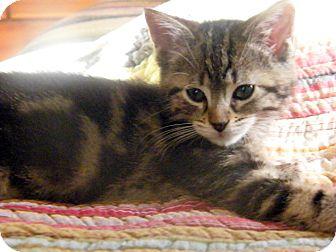 Domestic Shorthair Kitten for adoption in Mt. Prospect, Illinois - Amelia