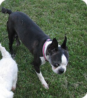 Boston Terrier Dog for adoption in Conesus, New York - Olive