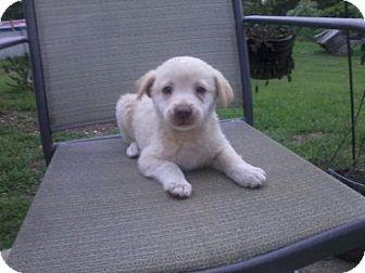 Greyhound/Labrador Retriever Mix Puppy for adoption in Danbury, Connecticut - Rain