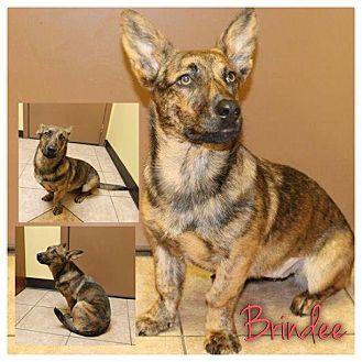 Corgi/German Shepherd Dog Mix Dog for adoption in Garden City, Michigan - Brindee