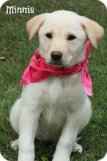 Labrador Retriever/Great Pyrenees Mix Puppy for adoption in Cranford, New Jersey - Minnie