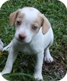 Beagle/Spaniel (Unknown Type) Mix Puppy for adoption in Washington, D.C. - Lacy