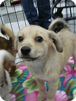 Beagle Mix Puppy for adoption in San Dimas, California - Beagle Puppies