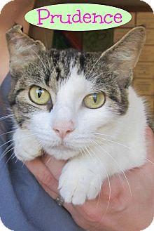 Domestic Shorthair Cat for adoption in Menomonie, Wisconsin - Prudence