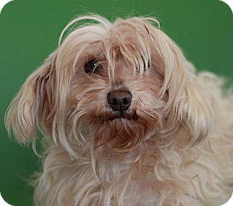 Maltese/Miniature Poodle Mix Dog for adoption in Berkeley, California - Millie