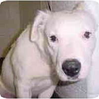 Adopt A Pet :: Eyore - Flint (Serving North and East TX), TX