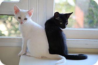 Domestic Shorthair Kitten for adoption in Santa Monica, California - Mowgli and Ghost