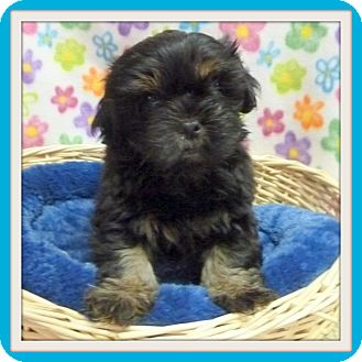 Terrier (Unknown Type, Small) Mix Puppy for adoption in Glendale, Arizona - Aron