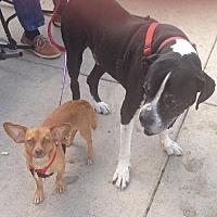 Adopt A Pet :: Scarlet - San Antonio, TX