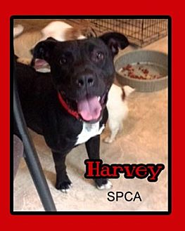 American Pit Bull Terrier Dog for adoption in Chatham, Virginia - Harvey