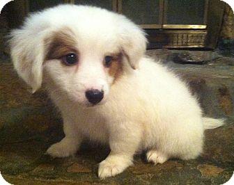 Australian Shepherd/Dachshund Mix Puppy for adoption in Warwick, Rhode Island - Fluff