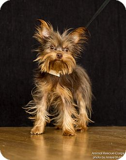 Yorkie, Yorkshire Terrier Dog for adoption in Hagerstown, Maryland - Phoebe Jo