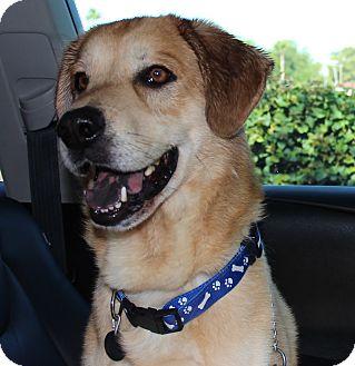 Labrador Retriever Mix Dog for adoption in Phoenix, Arizona - Joe