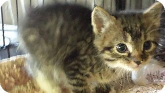Domestic Shorthair Kitten for adoption in Forest Hills, New York - Sible