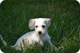 Terrier (Unknown Type, Medium) Mix Puppy for adoption in Richmond, Virginia - Banjo