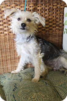 Yorkie, Yorkshire Terrier/Poodle (Miniature) Mix Dog for adoption in Bedminster, New Jersey - Luna