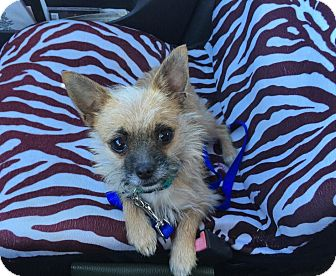 Chihuahua/Yorkie, Yorkshire Terrier Mix Dog for adoption in Maryville, Illinois - Perla