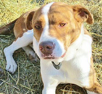 Boxer/Cattle Dog Mix Dog for adoption in Melbourne, Arkansas - Cal (Calico Kid)