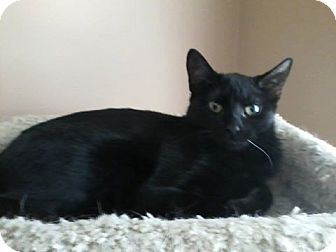 Domestic Shorthair Cat for adoption in East Brunswick, New Jersey - Raven