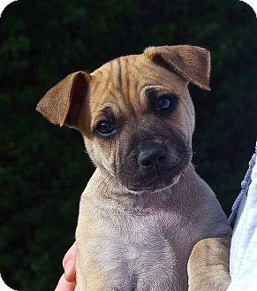 German Shepherd Dog Mix Puppy for adoption in Mill Creek, Washington - Blossom*ADOPTION PENDING*