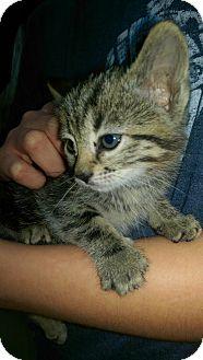 Domestic Shorthair Kitten for adoption in Ogden, Utah - Arwyn