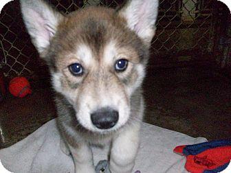 Alaskan Malamute/Jindo Mix Puppy for adoption in Augusta County, Virginia - Puppy Jellybean