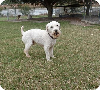 Maltese/Poodle (Standard) Mix Dog for adoption in Tavares, Florida - Sampson
