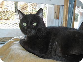 Domestic Shorthair Cat for adoption in Whiting, Indiana - Cruiser