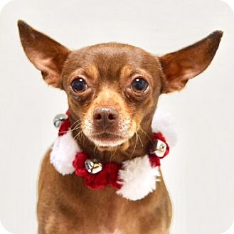 Chihuahua Mix Dog for adoption in Dublin, California - Spike