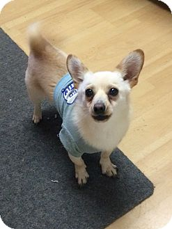 Chihuahua Mix Dog for adoption in East Hartford, Connecticut - Bebo in CT