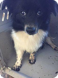 Pomeranian/Sheltie, Shetland Sheepdog Mix Dog for adoption in Fort Wayne, Indiana - Cupid