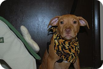 Pit Bull Terrier Mix Puppy for adoption in New Castle, Pennsylvania - Kindle