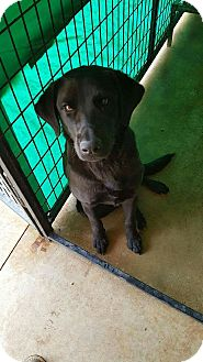 Labrador Retriever Dog for adoption in New Haven, Connecticut - Roger